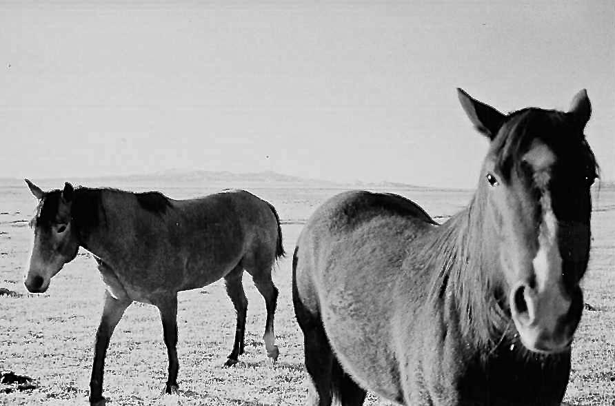 Remuda Horses at Fish Creek