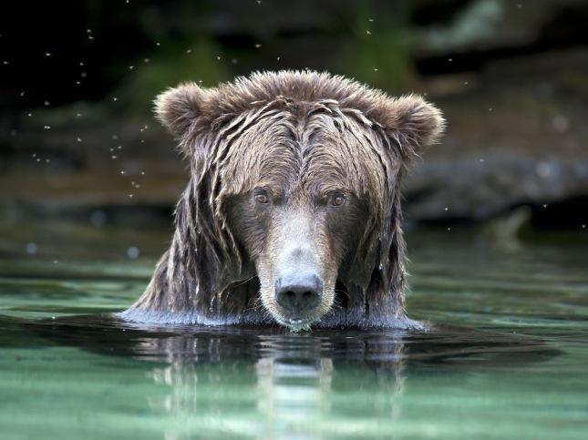 salmon_grizz1